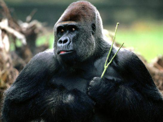 Candid_Western_Lowland_Gorilla